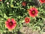 Gaillardia: Firewheel