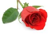 Rose-Red-Rose