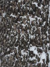 Winter bark